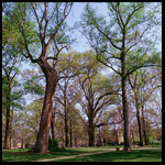 poplars thumbnail