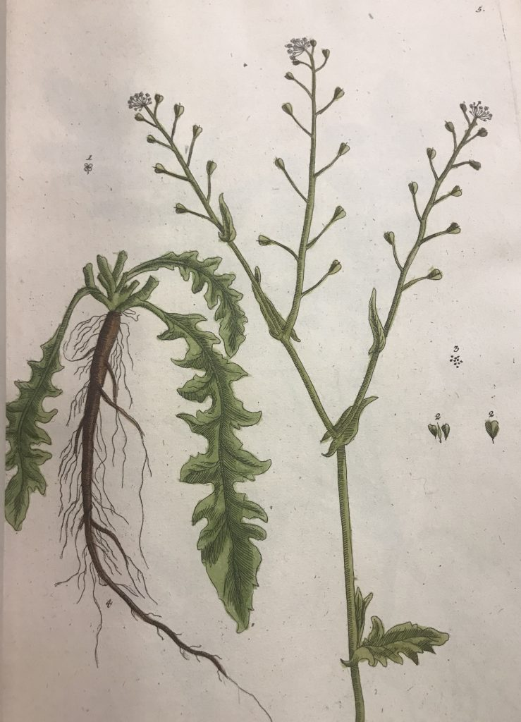 A drawing of a plant in Blackwell Herbarium