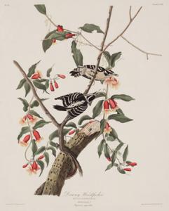 Audubon print of Downy Woodpecker